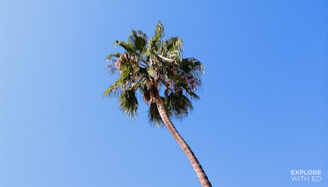 Blue sky and skinny palm tree