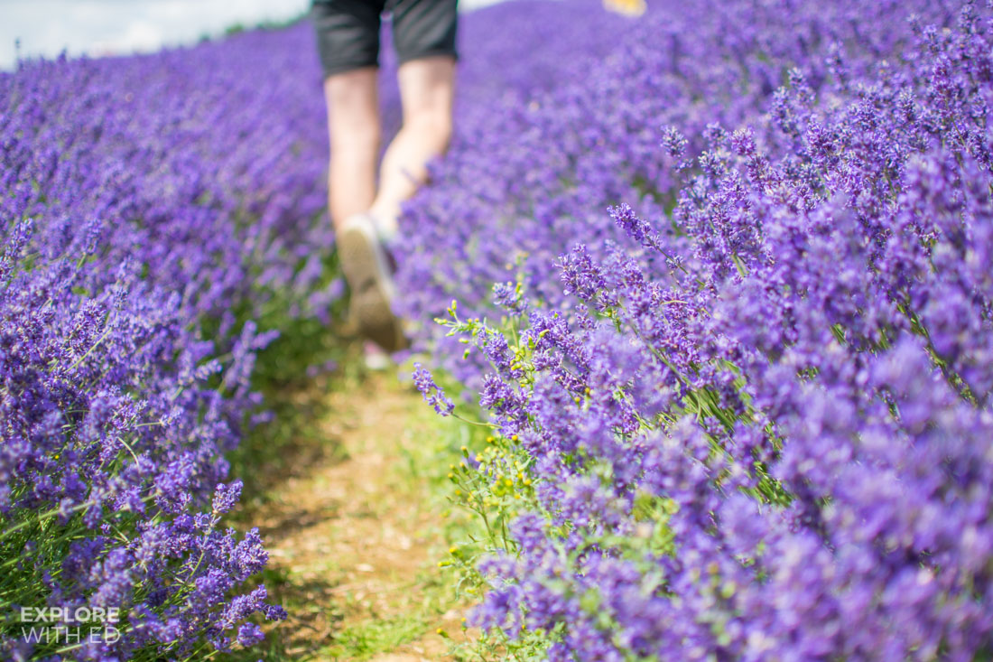 Walking through fields of lavender in England