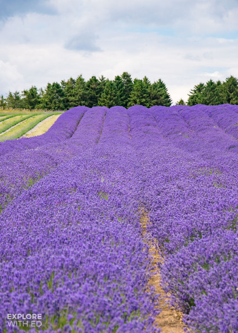Rows of Lavender in The Cotswolds English Countryside