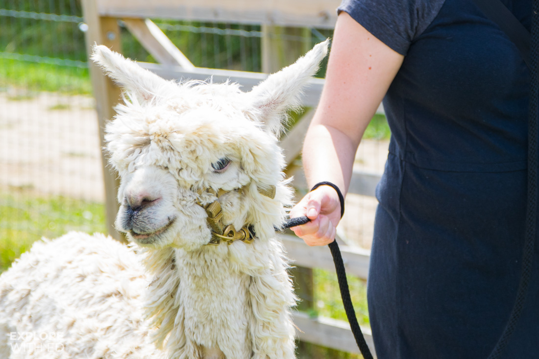 Walking with Alpacas and Llamas on the Isle of Wight