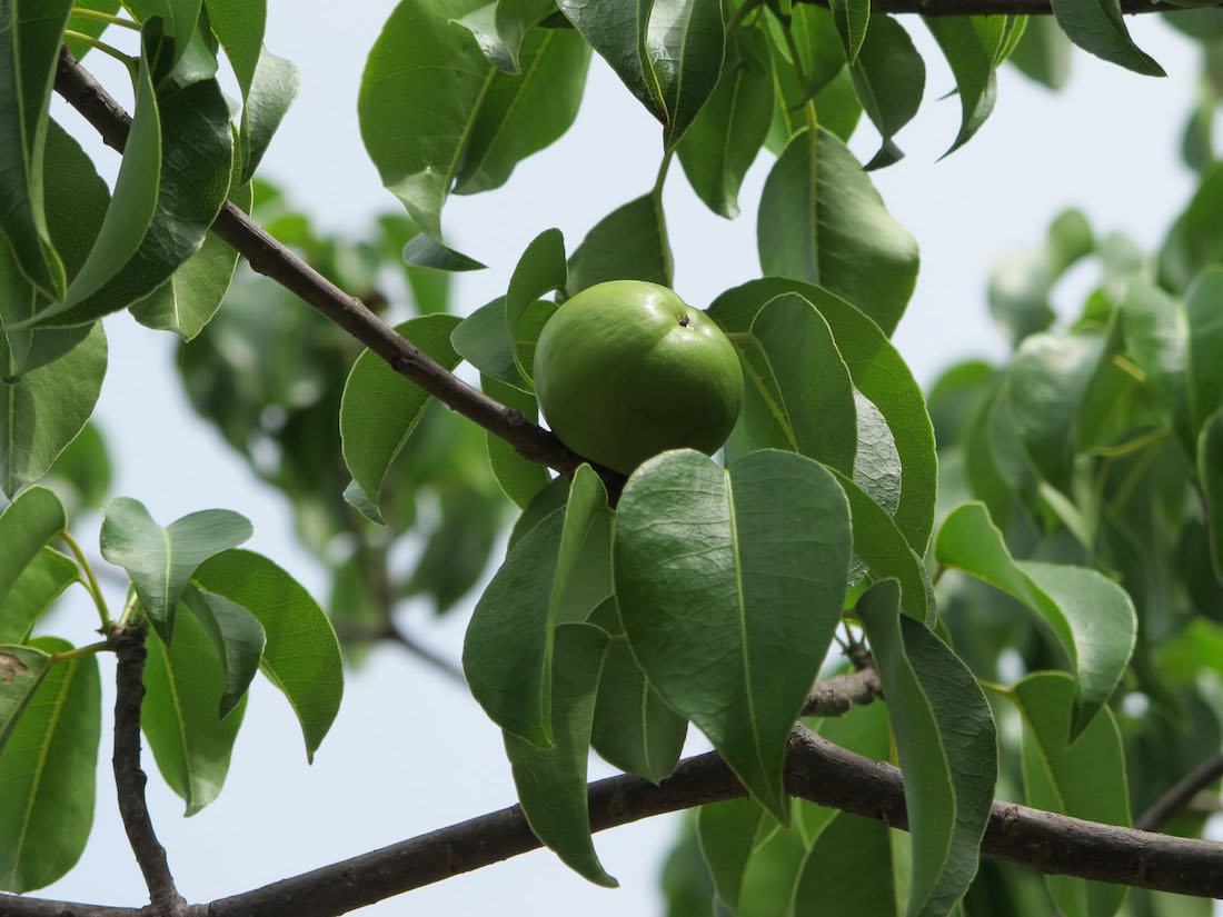 The Manchineel, the most poisonous tree, poison apple