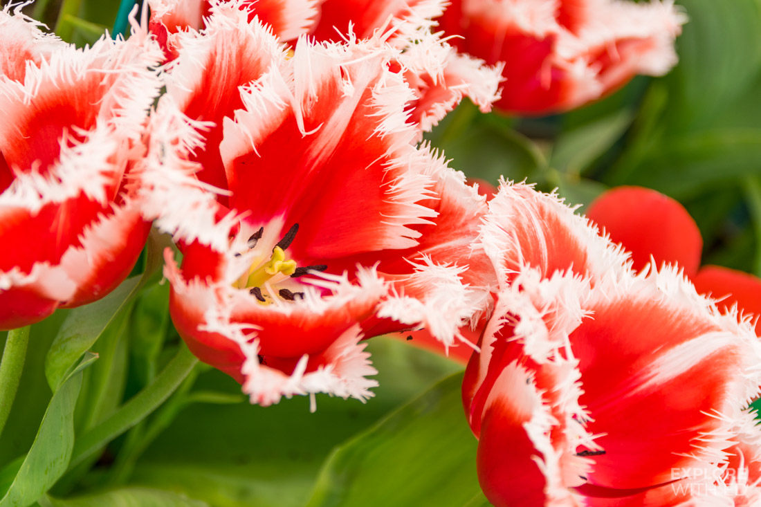New Santa Tulip with spiky white edges
