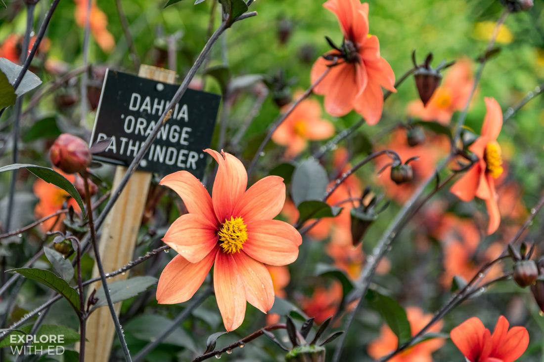 Dahlia orange pathfinder flower