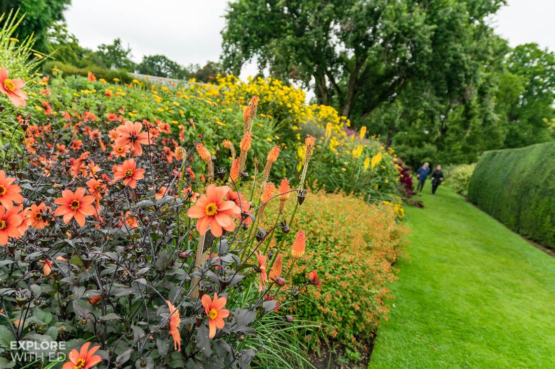 Beautiful orange dahlias in The Savill Garden
