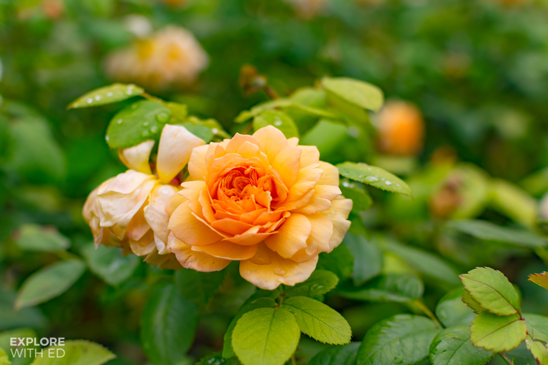 Peach coloured roses in The Savill Garden
